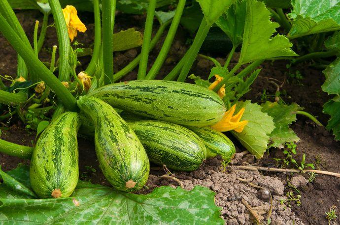 Кабачок — гипоаллергенный овощ с десятками способов приготовления.